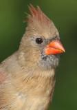 cardinal 270