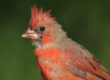 cardinal 273