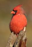 cardinal 276