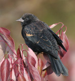 red winged blackbird 229