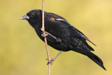 red winged blackbird 230