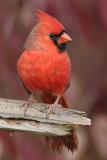 cardinal 278