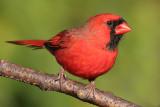 cardinal 280