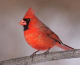 cardinal 285