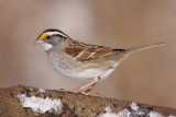 white-throated sparrow 105