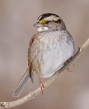 white-throated sparrow 106