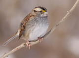 white-throated sparrow 107