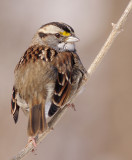 white-throated sparrow 109