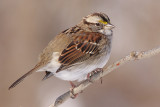 white-throated sparrow 111
