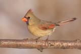 cardinal 290