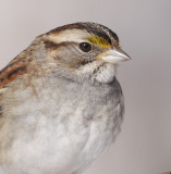 white-throated sparrow 112