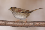 white-throated sparrow 113