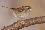 white-throated sparrow 114