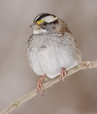 white-throated sparrow 115