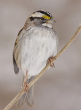 white-throated sparrow 116
