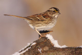 white-throated sparrow 118