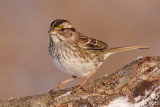 white-throated sparrow 119