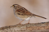 white-throated sparrow 120
