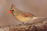 cardinal 291