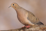 mourning dove 47