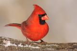 cardinal 292