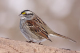 white-throated sparrow 122