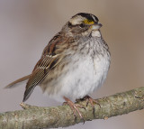 white-throated sparrow 123