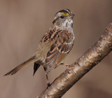 white-throated sparrow 124
