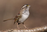 white-throated sparrow 125