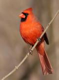 cardinal 293
