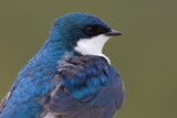 tree swallow 90