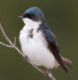 Tree Swallow - Female