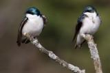 tree swallow 108