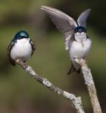 tree swallow 110