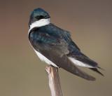 tree swallows 114