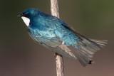 tree swallows 115