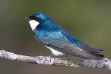 tree swallow 117