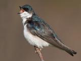 tree swallow 138