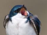 tree swallow 147