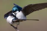 tree swallow 143