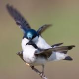 tree swallow 144