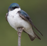 tree swallow 124