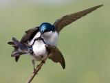 tree swallow 152