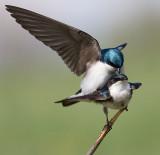 tree swallow 154