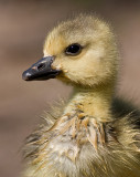 gosling 155