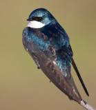tree swallow 155