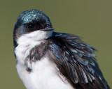 tree swallow 156