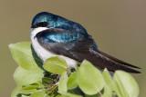 tree swallow 157