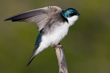 tree swallow 164