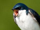 tree swallow 168